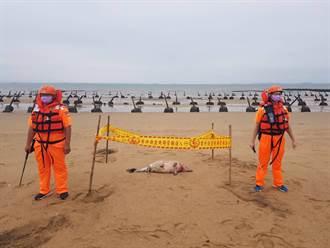 金門今年第12起  保育鯨豚魂斷安岐海灘