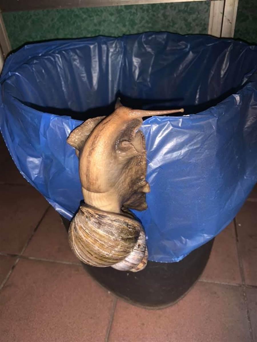 網友養5年的蝸牛經過「阿嬤養」已變成超巨蝸。(圖/李棋盛授權提供)
