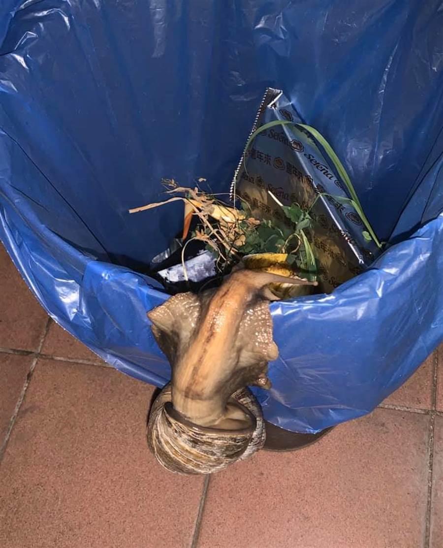 巨蝸吃不夠還會自己爬到垃圾桶找食物吃(圖/李棋盛授權提供)
