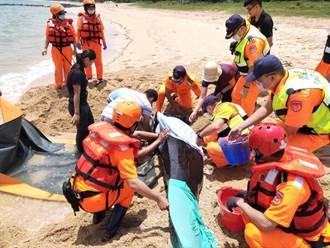 澎湖岸巡隊成功救援稀有保育類 短肢領航鯨返回大海