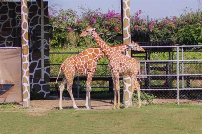 去年暑假從美國抵達頑皮世界的一公一母的長頸鹿,是遊客的新寵。(頑皮世界提供/劉秀芬台南傳真)