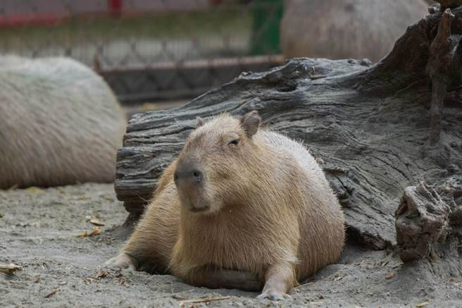 水豚圓滾滾的身體、緩慢的動作、呆萌的表情,被譽為動物界的療癒天王。(頑皮世界提供/劉秀芬台南傳真)