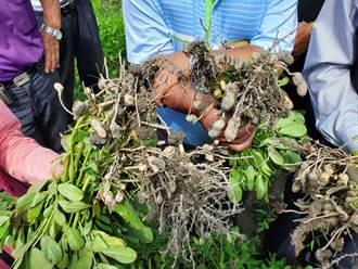 雲林花生災損三成至五成 農民:連明年的種子都不夠