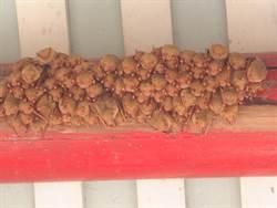 曾經上千隻群聚 全台最大黃金蝙蝠群聚奇觀消失了
