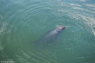 小虎鯨依然迷航 今晨又一隻命喪高雄港