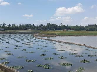 一期稻作採收 台南市官田區農民改種菱角