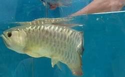 他買1條嘴緊閉金龍魚 掰開嘴驚見「龍吐珠」