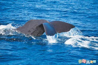 抹香鯨 今年首度現身花蓮