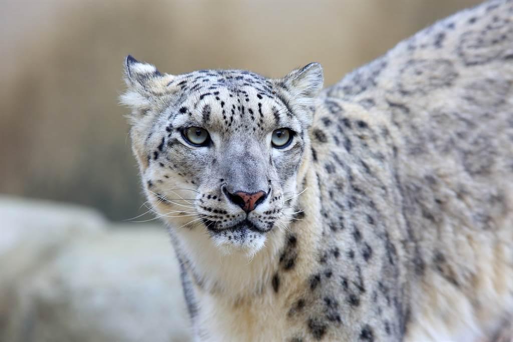 雪豹由於棲息地變小、非法捕獵等因素,導致數量越來越少(示意圖/達志影像)