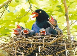 藍鵲寶寶超萌 動物園拉起封鎖線