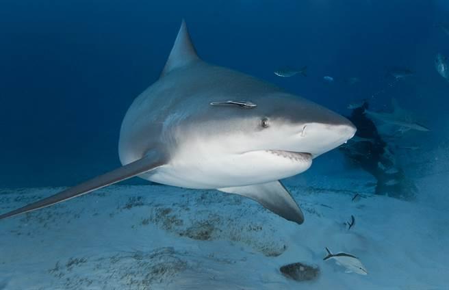 潛水遇3.5公尺巨鯊襲擊 男死裡逃生畫面曝光(示意圖/達志影像)