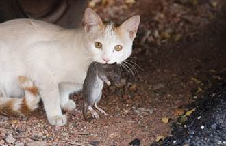 黑貓街頭大戰老鼠 下秒竟遭飛踢嚇傻