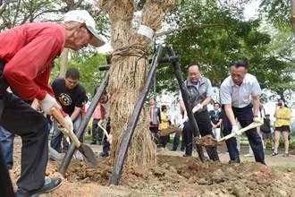 百年芒果樹30年後重逢 大學路改善爭議落幕