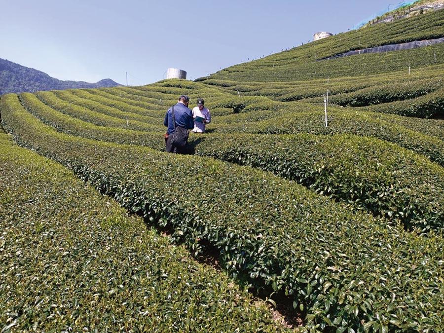 因嚴重的霜害,導致正在採收的2020年春茶產量銳減,圖為大梨山地區的茶區。圖/業者提供