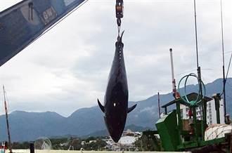 395公斤超大黑鮪魚入港,15萬8000元售出
