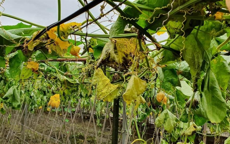 被破壞的絲瓜藤,因為養分無法傳遞有些葉子與絲瓜已經開始枯黃。(吳建輝攝)