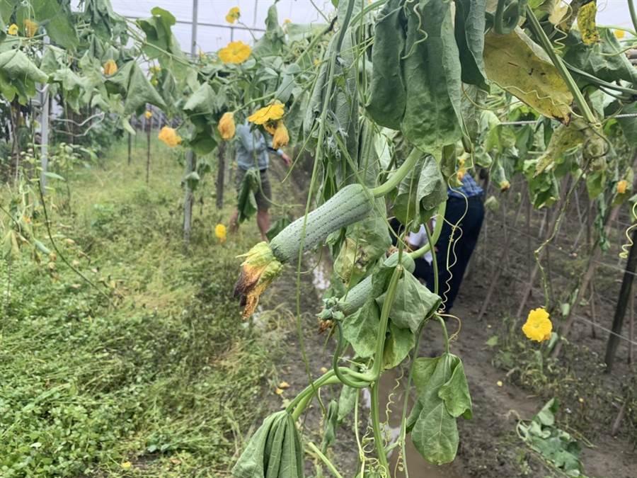 也有部分絲瓜因為缺少瓜藤輸送養分,已經來不及長大。(吳建輝攝)