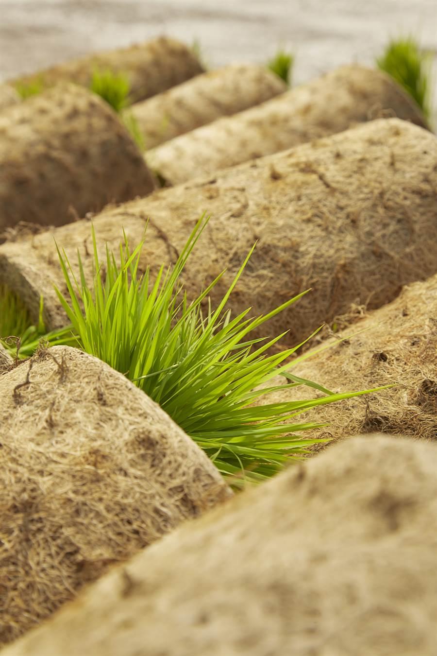 育苗場會將秧苗種在秧床上,等秧苗長到一個拳頭在高一點,再捲秧、交給農人到田裡插秧(圖/林盟山攝)