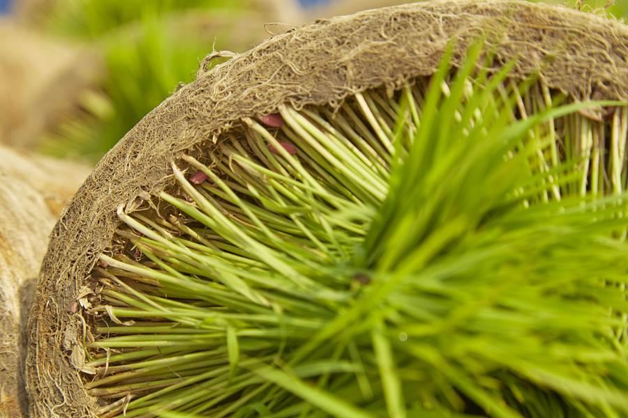 台灣以稻米為主食,因著品種、產地、氣侯、農人種植技術、乾燥及保存方式,每一粒米散發不同的風味。(圖/林盟山攝)