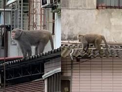 又跑來!北投民宅屋頂驚見野生猴 里長:偶爾跑下山