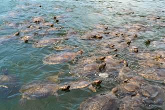 6萬4千隻綠蠵龜現蹤產卵 珍貴登島畫面曝光