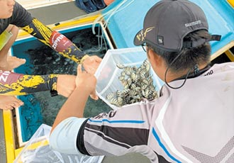 澎湖海生中心 放流萬尾條石鯛