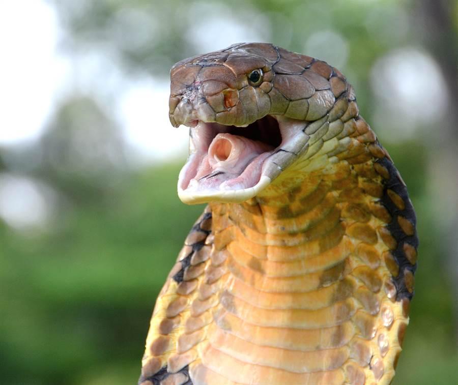 眼鏡王蛇是世上體型最長的毒蛇,性情比眼鏡蛇還要兇猛(示意圖/達志影像)