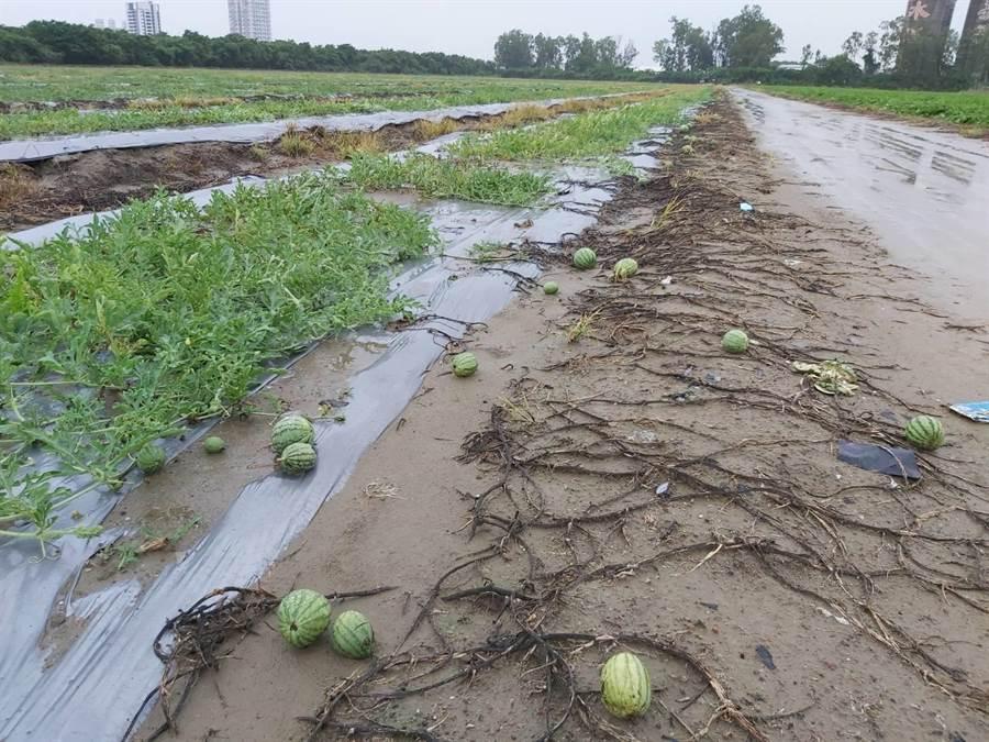 5月豪雨農損,高市農業局即日起至6月20日止,受理岡山區西瓜農現金救助申報。(高雄市農業局提供/林雅惠傳真)