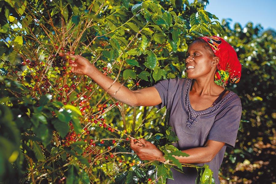 Jesca Kangai住在位居辛巴威東部高地Mutasa區的Pangeti村,透過「AAA永續品質計畫」的訓練,教會她如何適當地管理農樹木。(Nespresso提供)