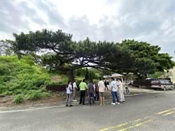 百年黑松與車爭道 縣府將調整苗31鄉道讓路給老樹