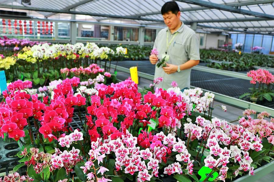 隨疫情趨緩,台灣蘭花產業的外銷量恢復5、6成,但目前還是得降價求售,且「滯銷丟花」現象依舊,甚至有業者考慮退場,不過潮州業者分析利弊後,反看好前景發展。(謝佳潾攝)