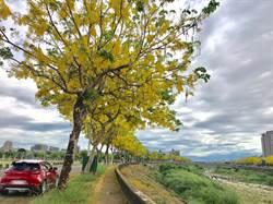 防疫新生活! 中市推出賞樹景點解密