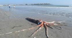 4米大王烏賊沖上南非海灘 專家驚屍體好完整!