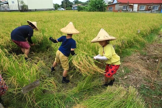 南台科技大學來坐農創工作室13日在台南後壁頂常社區舉辦割稻體驗。(南台科技大學提供/劉秀芬台南傳真)