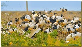 生殖管理 成鳥移除 抑制族群成長
