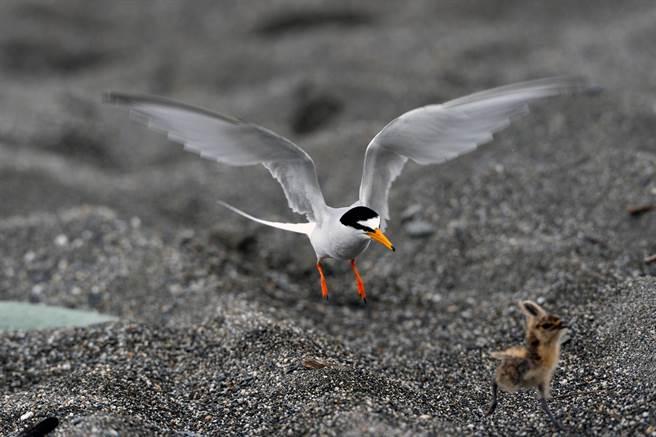 因誤闖禁區慘遭小燕鷗痛扁的燕鴴寶寶,沒命似的拔腿逃亡。(莊哲權攝)