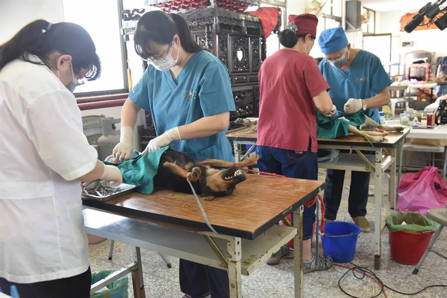 雲林縣政府逐年增加犬貓絕育補助經費,每年至少結紮5000隻。(張朝欣攝)