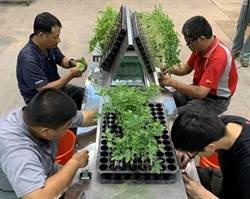 新型態番茄苗輸送帶嫁接輔助機具 4人團隊分工更輕鬆有效率