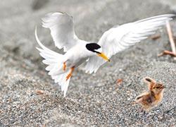 燕鴴寶寶慘遭小燕鷗霸凌