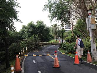 昨雨彈來襲 八里自行車道路樹倒塌阻通行 議員呼籲加強樹木健檢