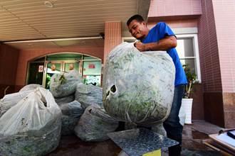 小花蔓澤蘭收購金每公斤5元誘因不大 民眾認為應提高