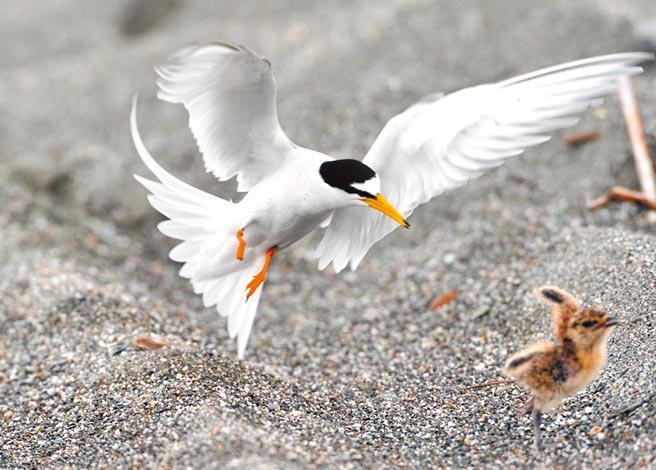 燕鴴寶寶因誤闖禁區慘遭小燕鷗痛扁,沒命似地拔腿逃亡。(莊哲權攝)