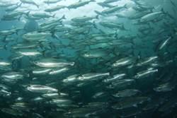 突擊挪威鮭魚養殖場 竟驚見大量「畸形魚」