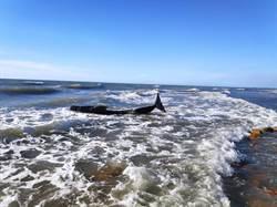 後龍擱淺領航鯨因健康不佳 予以安樂處置