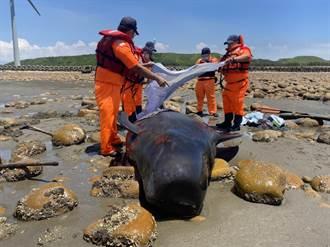 後龍海角樂園海濱活領航鯨擱淺 海巡出動救援