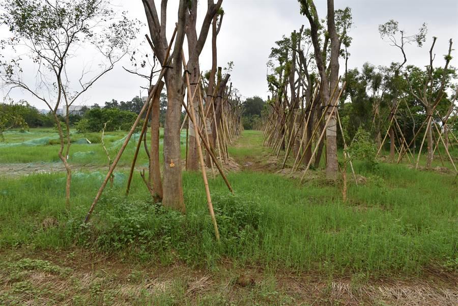 台積電大埔廠區已從月前開始植栽工程。〔謝明俊攝〕