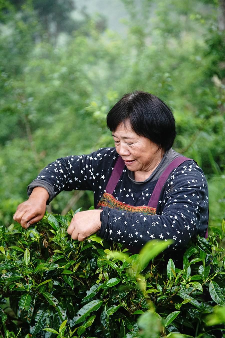 每年春季是寶山部落原生茶主要的採收季節。(攝影/曾信耀)