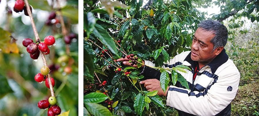 沿著馬里山咖啡步道有許多40多年咖啡樹。(攝影/曾信耀)