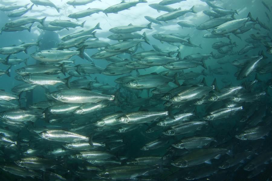 突擊挪威鮭魚養殖場 竟驚見大量「畸形魚」(示意圖/達志影像)