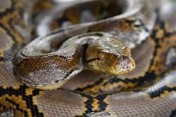 少年突遭7公尺蟒蛇纏繞全身 活活被勒死死相慘